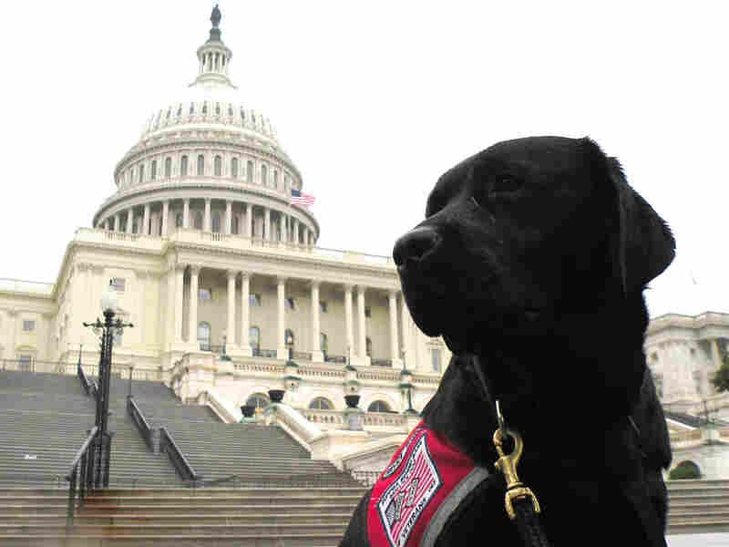 A black Lab puppy named Samba at the U.S. Capitol