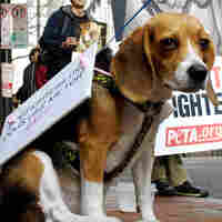 After Michael Vick, The Battle To Stop Dogfighting