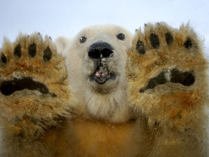 a polar bear looks into the camera