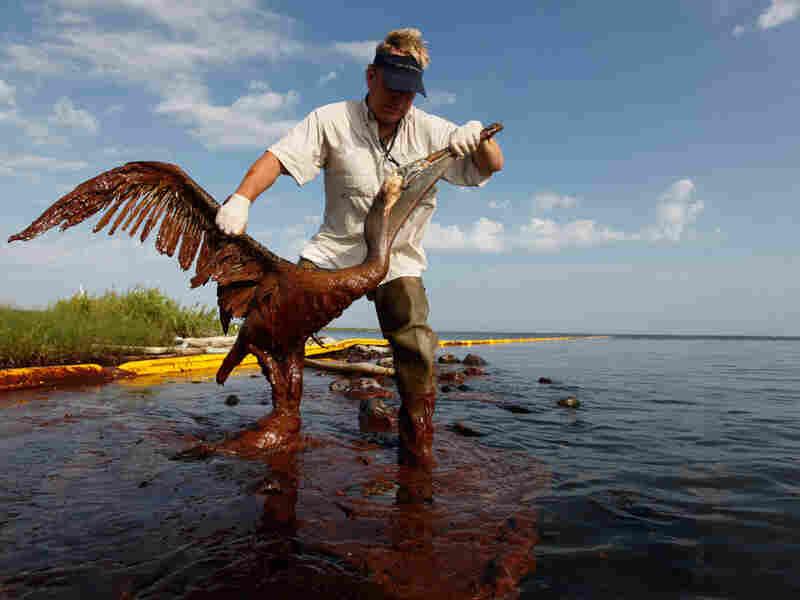 Plaquemines Parish coastal zone director P.J. Hahn lifts an oil-covered pelican
