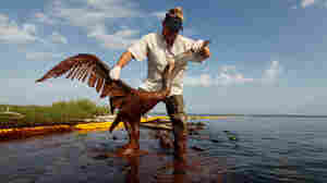 Plaquemines Parish coastal zone director P.J. Hahn lifts an oil-covered pelican