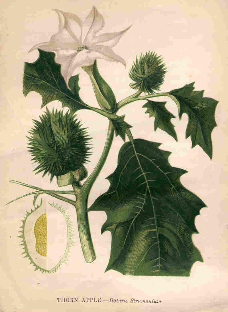 Illustration of the thorn apple, or datura stramonium.