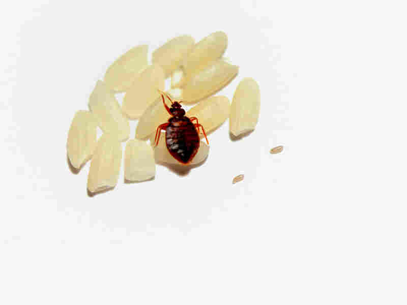Bedbug on a grain of rice