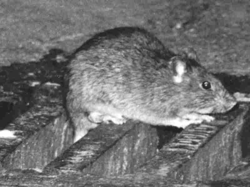 Sewer rat