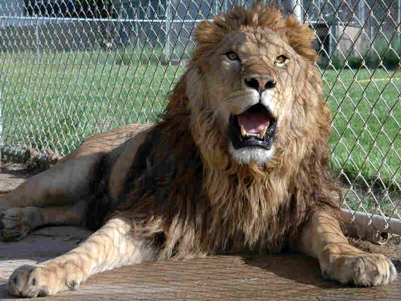 Kitty, a 400-pound pet lion in Floyd County, Ky.