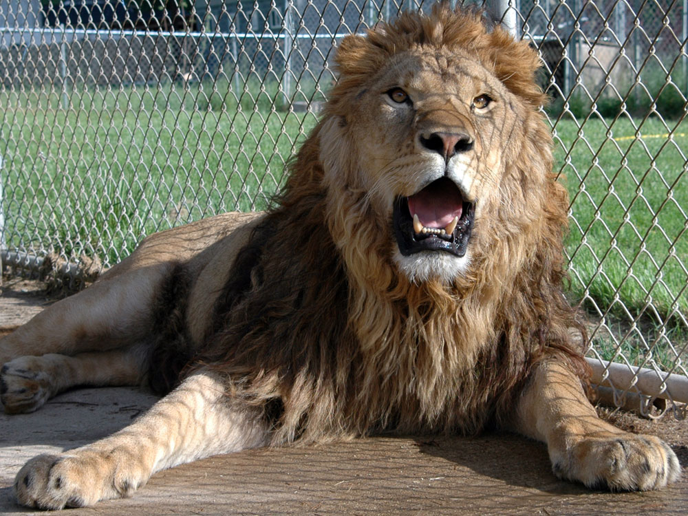 my pet lion Big cats are available in the pet trade, but problems can result when owners face  the reality of caring for a pet tiger, lion, or wildcat.