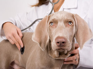 Dog receiving checkup