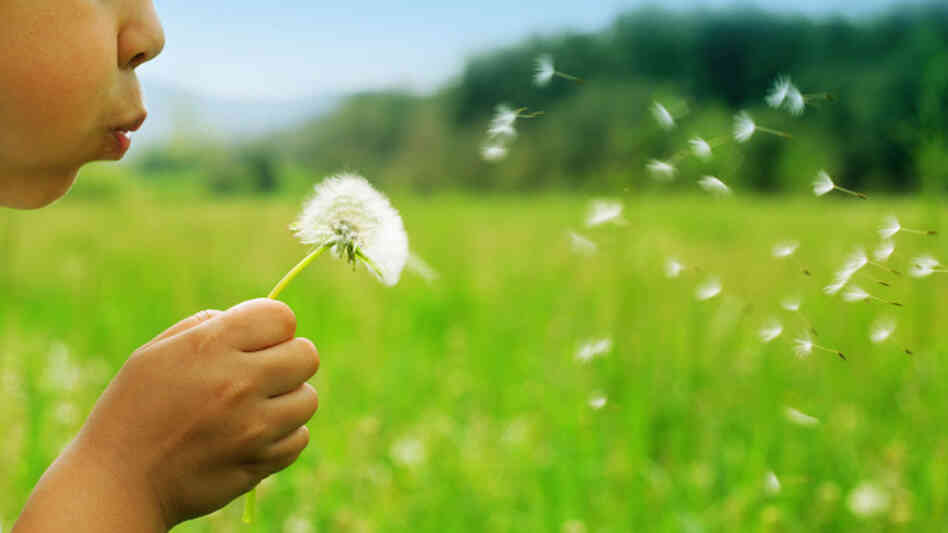 A child blows dandelion seeds across a meadow.