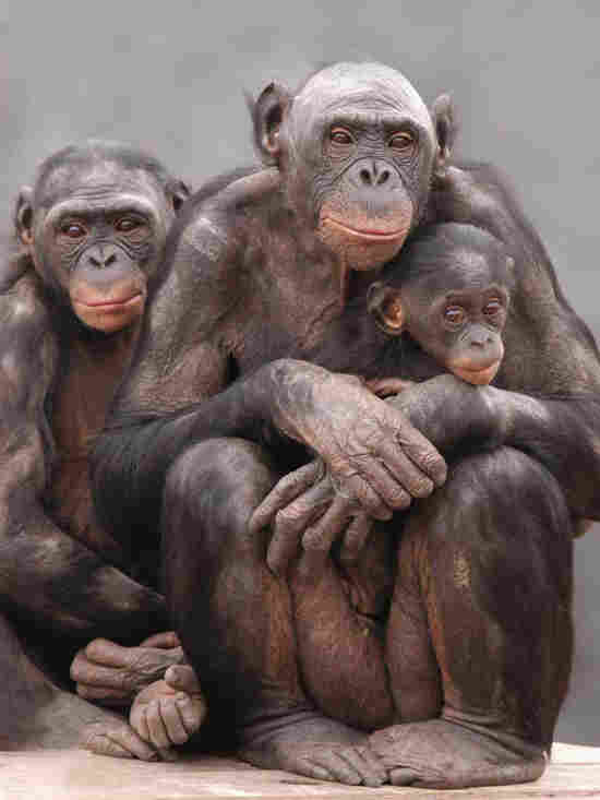 A group of Bonobos