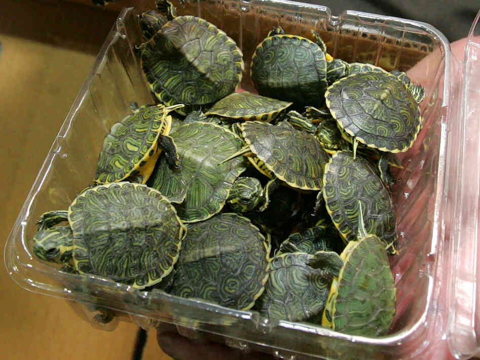 Little pet turtles pose a big salmonella risk.