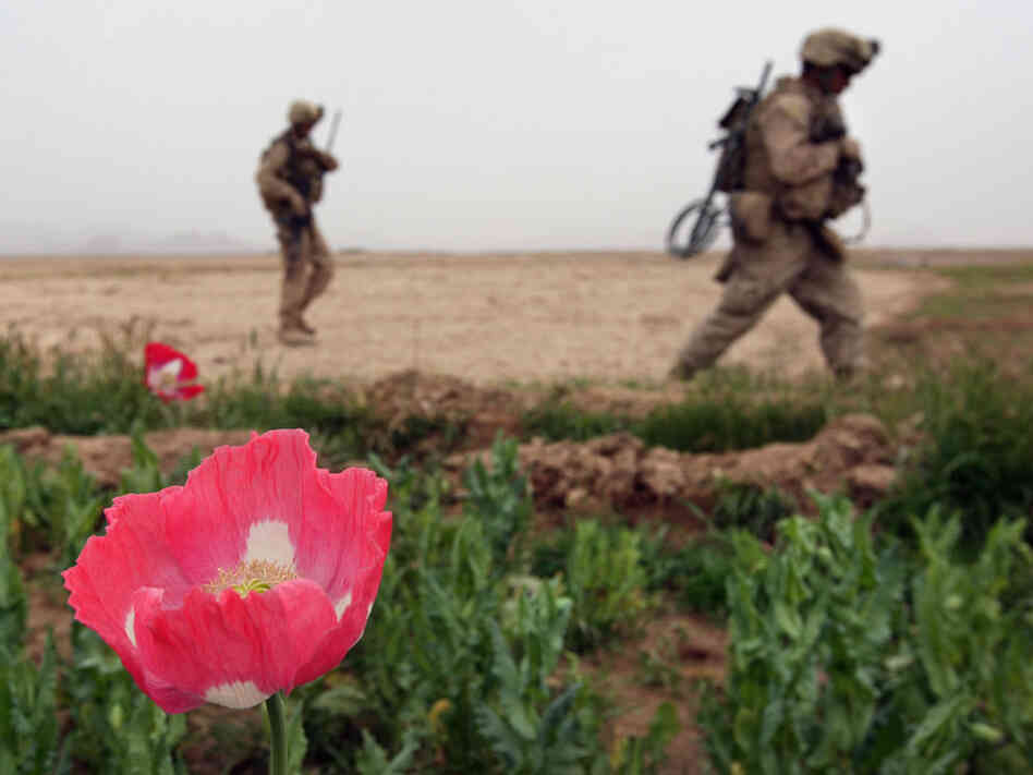 A Marine walks by an opium poppy in Afghanistan.