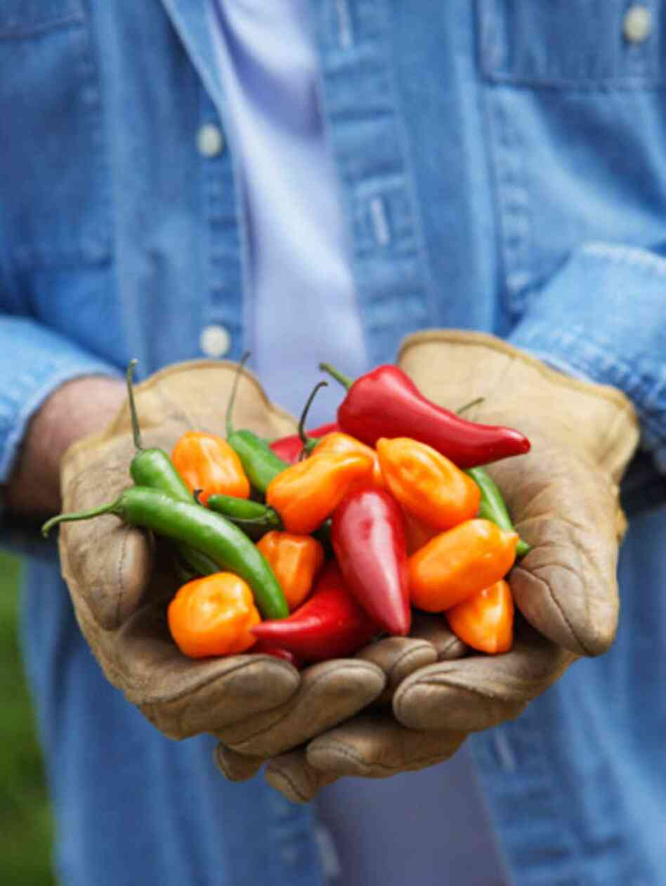 Farmer holds up a handful of peppers