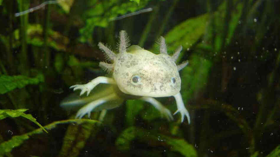 Endangered in the wild, axolotls are thriving in labs.