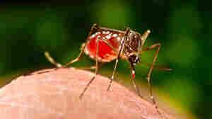 Dengue Fever In Florida Portends A Growing Problem