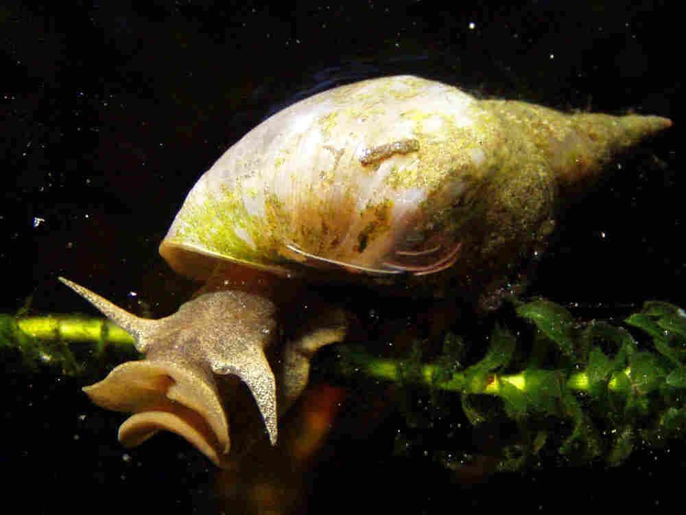 Great pond snail