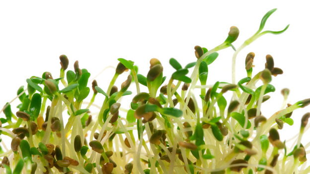 Alflalfa sprouts