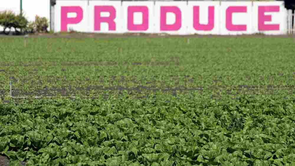 lettuce crop in California