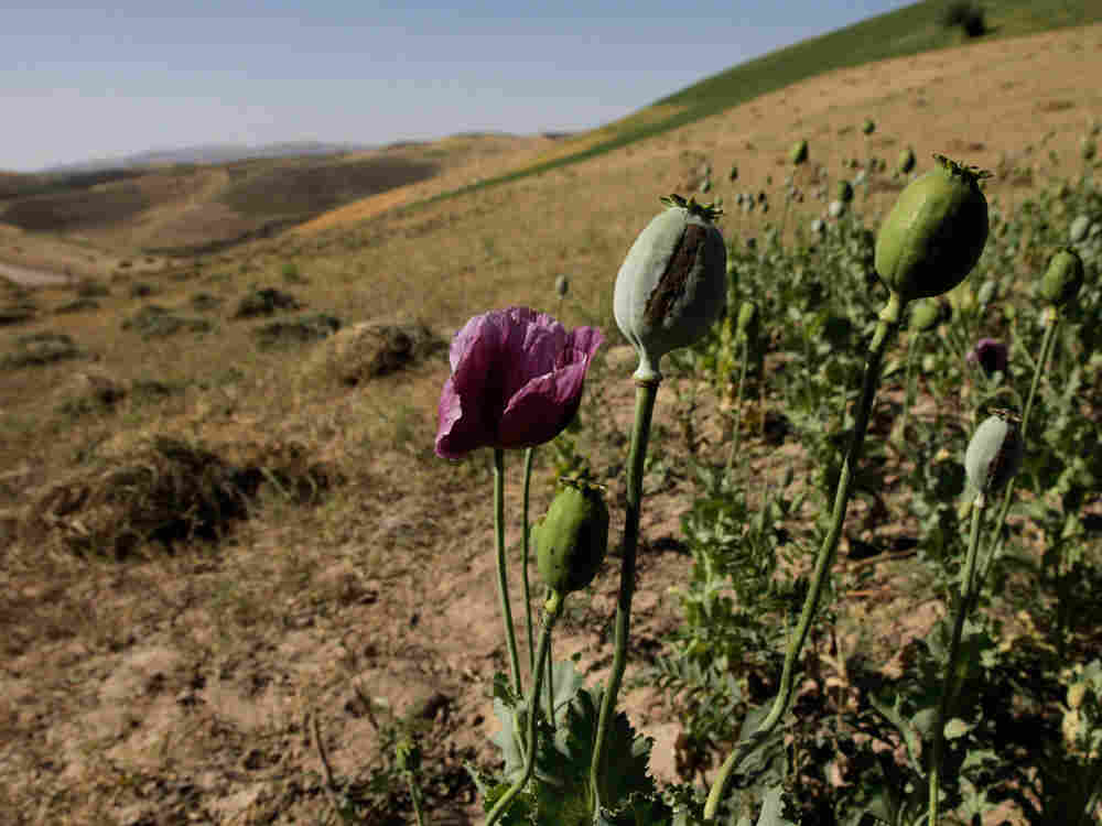 In this photo taken July 16, 2008, An illegal crop of poppies stands out from a newly-harvested crop