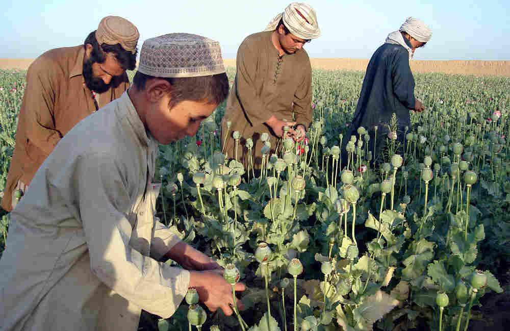 Afghan poppy farmers.