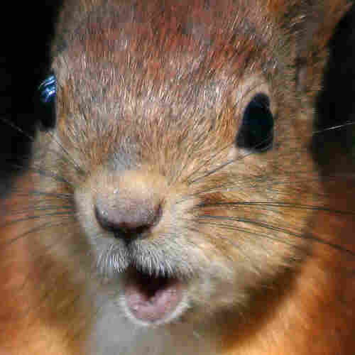 close-up photo of red squirrel.