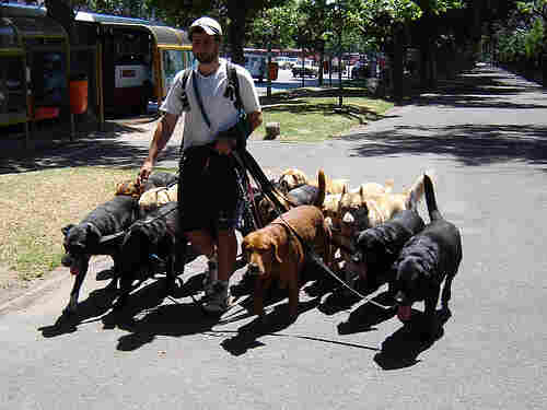 Photo of a man walking many dogs at once.