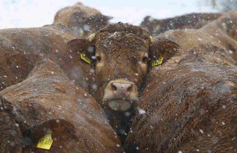 Cattle stand in the snow on a pasture near Linum, eastern Germany.