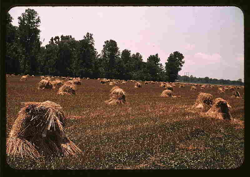 Newly harvested oats on a southeastern Georgia farm.  By Marion Post Wolcott, May 1939.