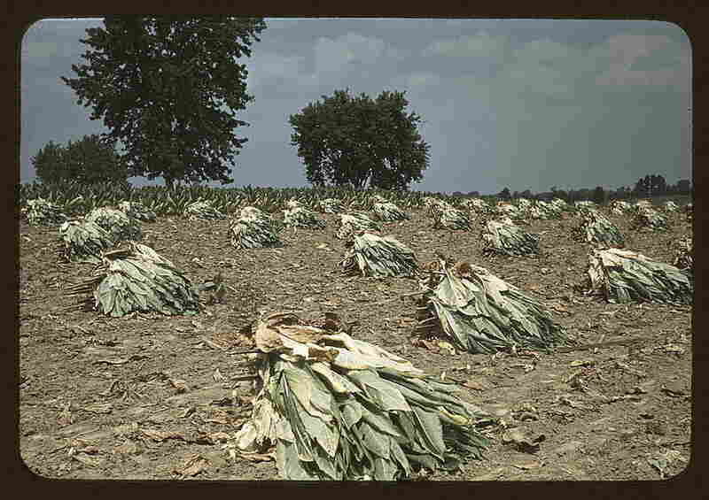 Recently cut tobacco near Lexington, Ky.  By Marion Post Wolcott, September 1940.