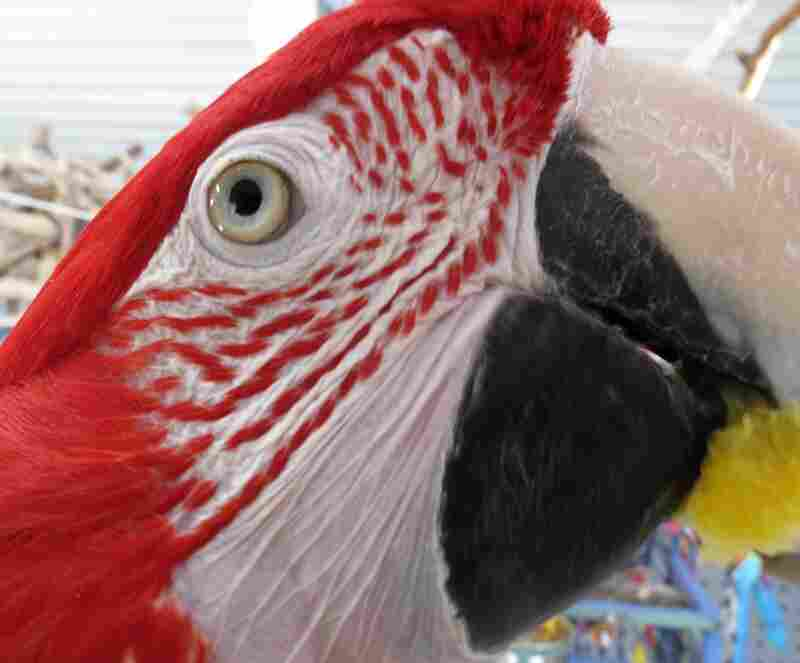 A macaw rescued by The Wilson Parrot Foundation in Damascus, Maryland.