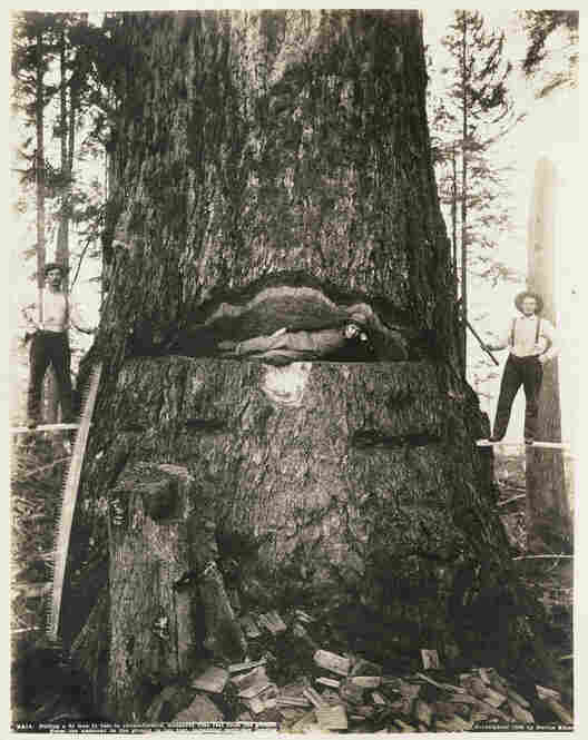 Felling a Fir Tree, 51 Feet in Circumference, 1906 Often using a large-format camera, Darius Kinsey, 1869-1945, was a photographer of logging activities in the Pacific Northwest.