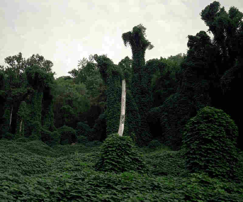 Kudzu, an invasive plant, dramatically defines much of the vegetation in parts of Appalachia.