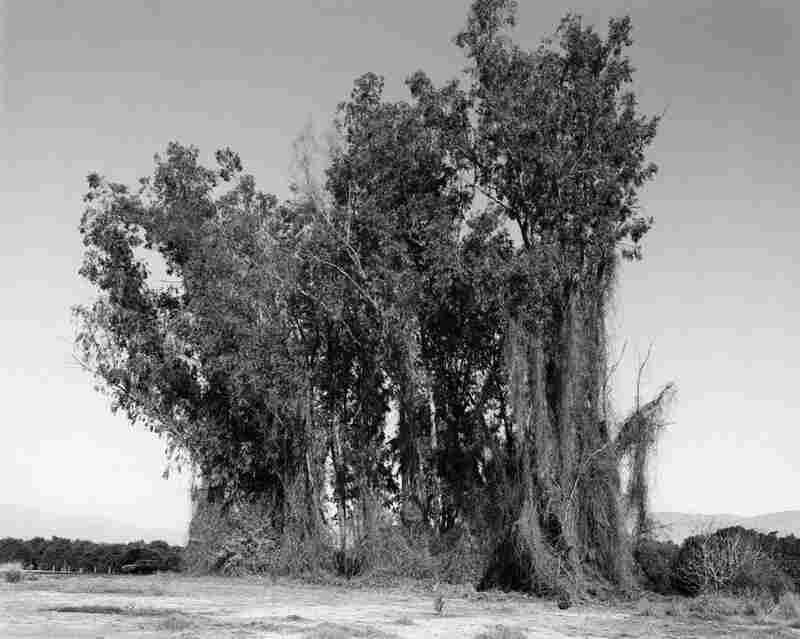 Remains of a eucalyptus eind break among citrus groves, Redlands, Calif., 1982.