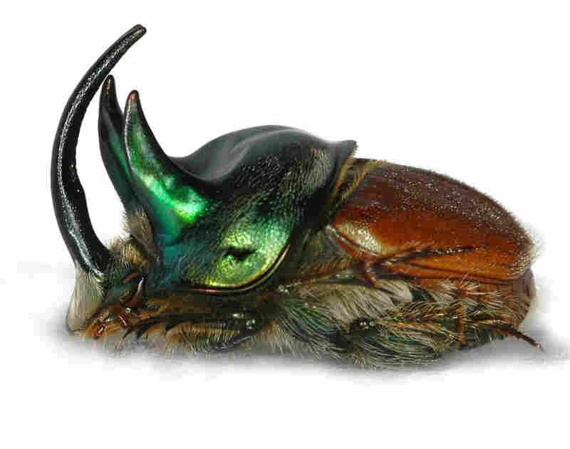 Onthophagus (Proagoderus) lanista
