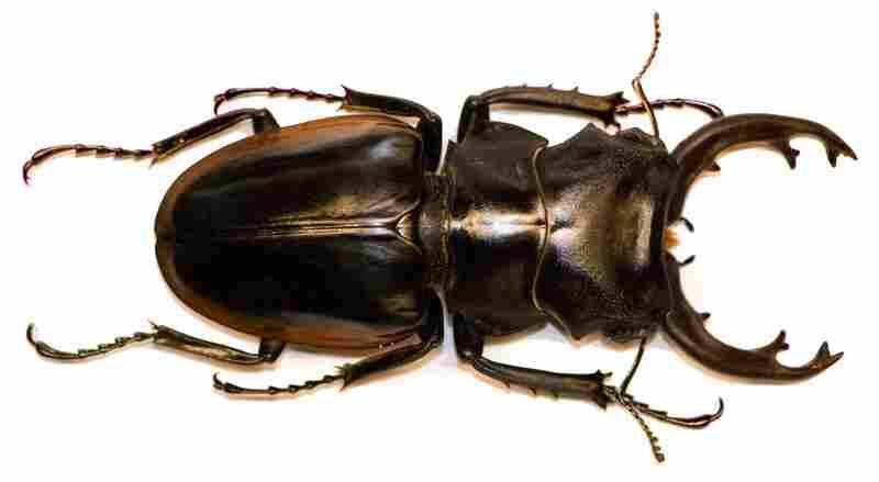 Odontolabis cuvera