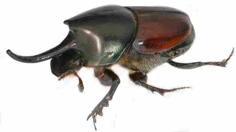 Onthophagus nigriventris