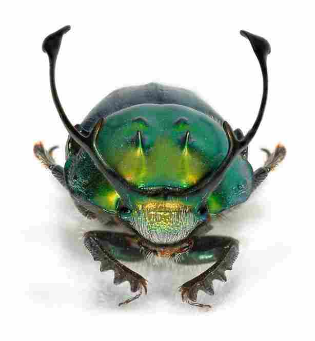 Onthophagus (Proagoderus) rangifer