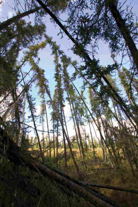 """Human infrastructure is not the only thing affected by melting permafrost. Forests often grow on a thin layer of soil overlying permafrost, and as it melts, the stability of the trees is jeopardized. This """"drunken forest"""" is near Fairbanks, Alaska."""