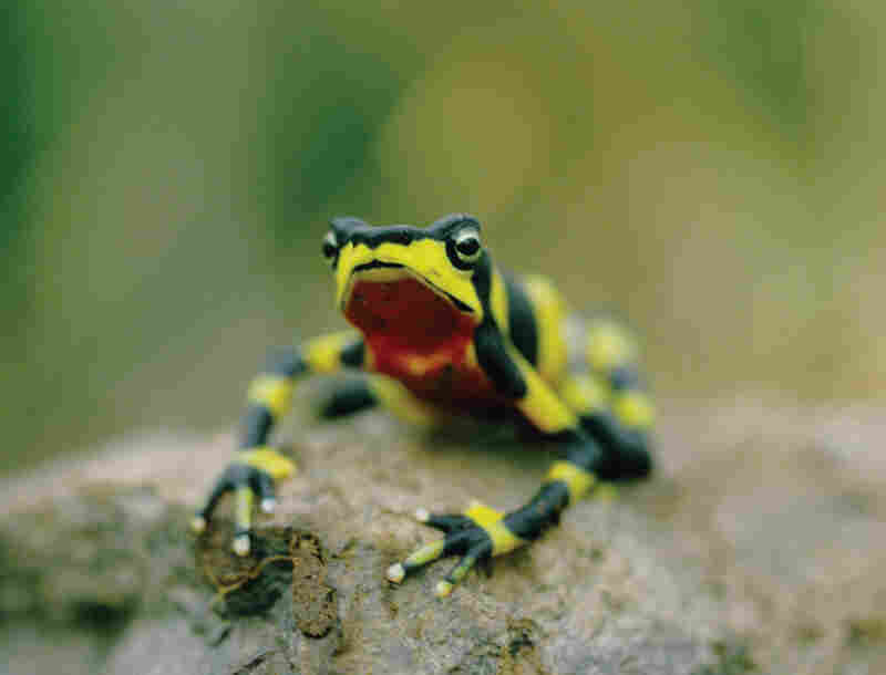 This Harlequin toad (Atelopus varius) in Costa Rica is one of dozens of this genus on the endangered species list — some of which are already thought to be extinct — mainly because of the spread of the chytrid fungus, which may be accelerated by climate change and harvesting for the pet trade.