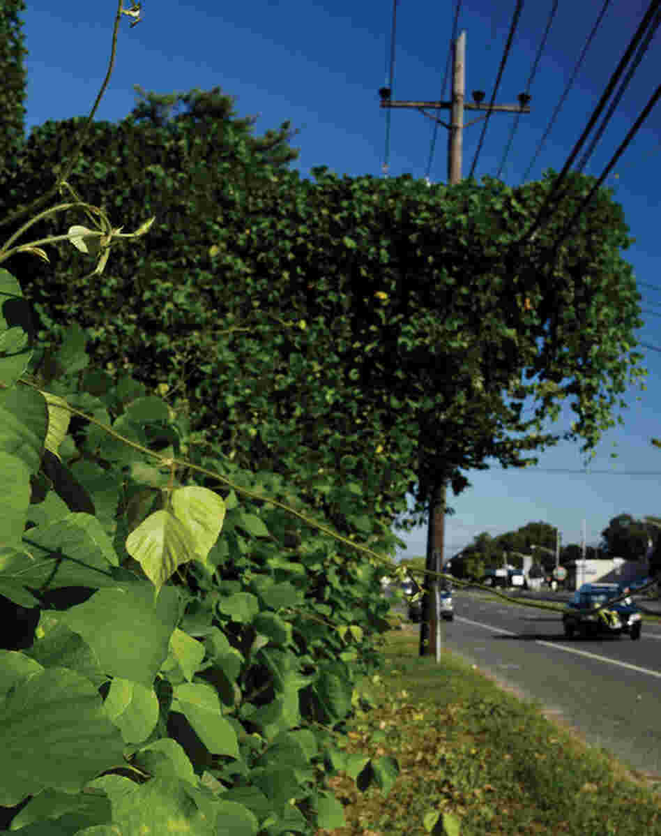 An invasive plant species, kudzu was initially imported from Japan to the Southern United States for agricultural purposes, but it rapidly became a pest owing to a lack of grazers and its fast growth. In the past 10 years, it has moved inexorably farther north as temperatures have warmed. This image was made in Melville, N.Y. , on Long Island.