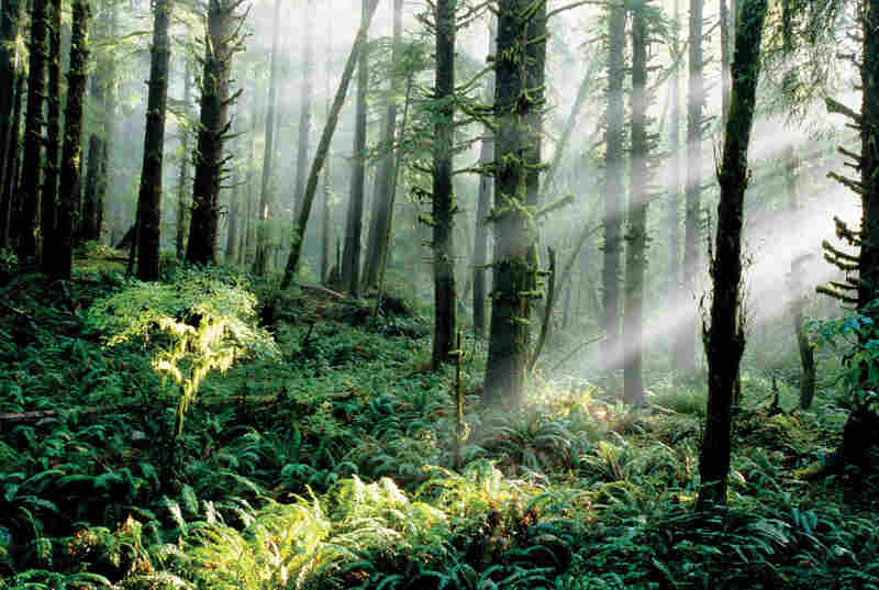 Biomass growth can be used to store carbon that would otherwise escape into the atmosphere. These Sitka spruce and Western hemlock forests in Oregon are among the richest in the world in soil depth and the amount of nutrients and carbon stored in the soil and woody debris.