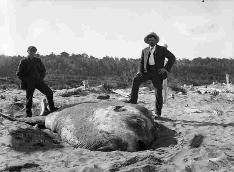 What looks like a mound of sand is actually a giant beached sunfish at Awatuna, near Hokitika, New Zealand, 1910.