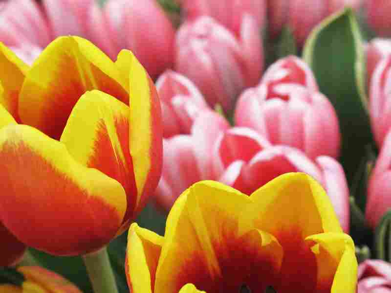 Bouquets of bright tulips are available at Blue Iris Flowers.