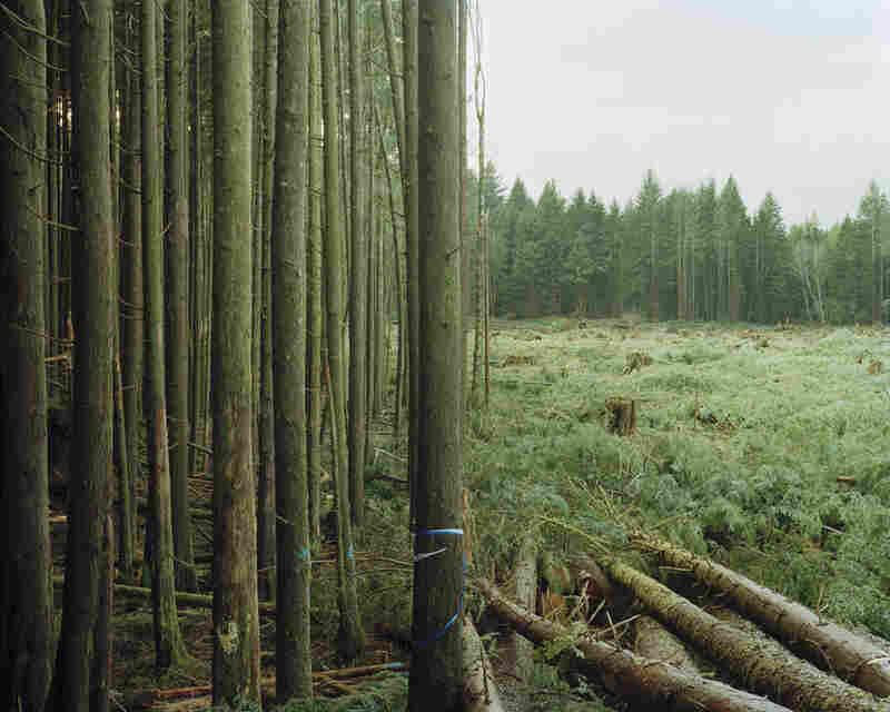 Freshly felled trees, Nemah, Wash.