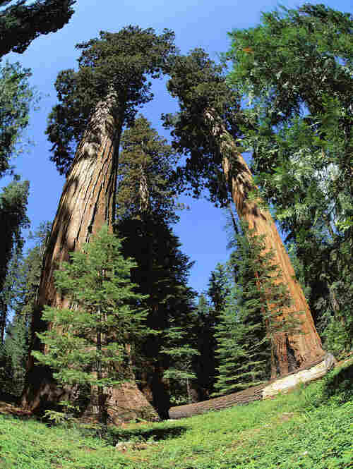 Closely related to coast redwoods, which are the world's tallest trees, giant sequoias are shorter but more massive — among the biggest living things on Earth by volume.