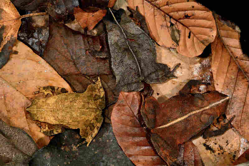 Can you distinguish the leaf-litter toads from the leaves on this Panamanian forest floor?