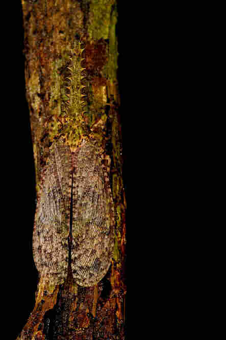 A saw-nosed plant hopper blends in with the wood. Wonder how it got its name?