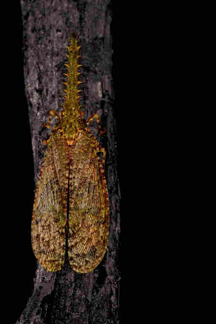The camouflage is the plant hopper's first defense. But this little insect can also foil predators by revealing large red spots beneath its wings, which appear like the eyes of a much larger creature.