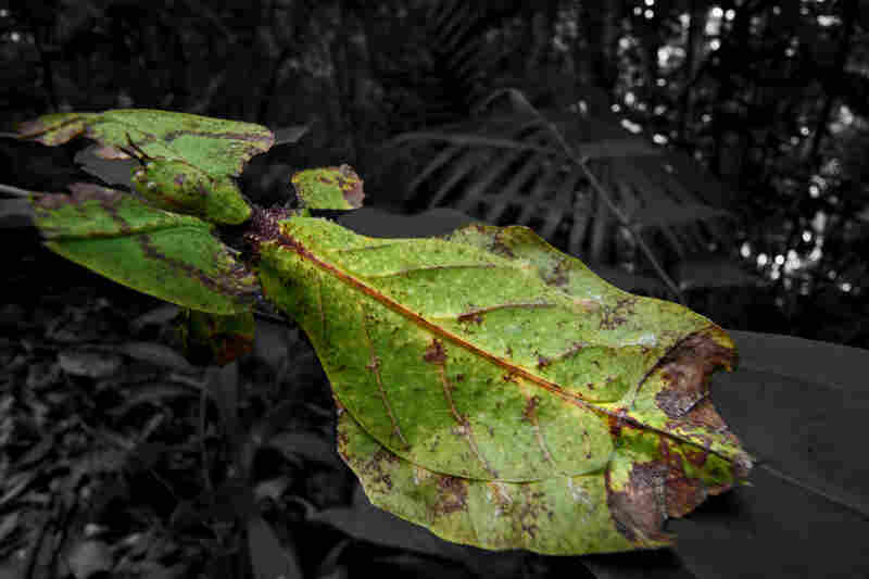 A recently discovered fossil shows that the walking leaf species has changed very little over the past 47 million years.