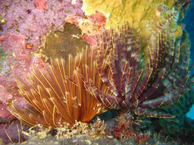 """Like many other reef animals, magnificent feather dusters resemble plants. The feather-like structures are actually the gills of a worm that lives in a tube below. The """"feathers"""" also function as filters that are used to capture food as it floats by."""