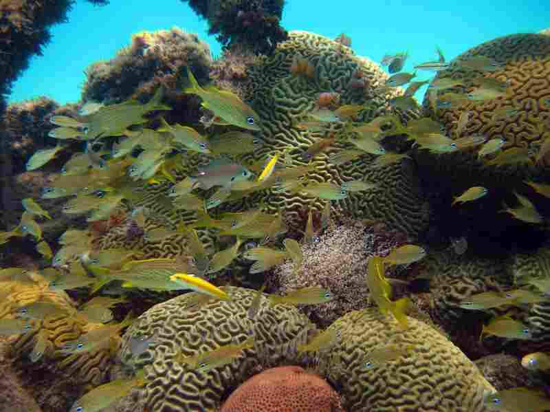 """For this group of juvenile grunts, brain corals provide shelter against predators. Small fish like these start their life offshore. After some time, they move in from the open ocean, """"invading"""" the reef where they will grow and reproduce."""